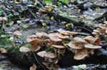 Bulbous Honey Fungus (Armillaria lutea)